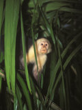 White Face Monkey  Cebus Capucinus in Tree  Costa Rica