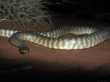 Woma Snake Coiled on a Sand Dune with Impressive Scale Banding  Australia