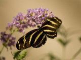 Zebra Winged Butterfly at the Lincoln Children's Zoo  Nebraska