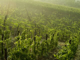 Vineyards Shrouded in Fog Along the Chianti Countryside  Tuscany  Italy