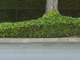 Street Curb with Hedge and Tree in Foreground  Santa Barbara  California