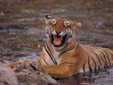 Yawning Bengal Tigress Wallows in a Mud Hole During the Dry Season