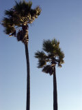 Wind Blown Palm Trees  Ventura  California