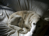 Yellow Lab Resting on Couch  Marin  California