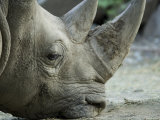 White Rhino Sniffs the Muddy Ground at the Henry Doorly Zoo  Nebraska