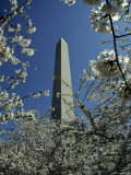 Washington Monument Seen Through Cherry Blossom Trees  Washington  DC