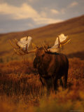 Willows Cling to Bull Moose's Antlers  Alaska