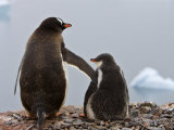 Tender Moment  Gentoo Penguins  Antarctica