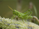 Western Ragweed Grasshopper