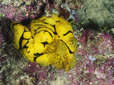 Yellow Nudibranch or Sea Slug  Notodoris Minor  Mating  Solomon Islands