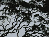 Silhouette of Interlocking Tree Branches in Rainforest  Borneo