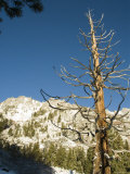 Snow Covered Tree with Snow Covered Mountain Range Background  California