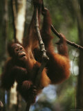 Two Orangutans Hang from Tree Limbs  Borneo