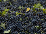 Wine Grapes Wait for Pressing in the Village of Aspiran  France