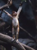 Young Proboscis Monkey Reaching for a Tree Branch in a Zoo Enclosure  Bronx Zoo  New York