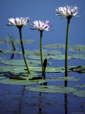 Water Lily Flowers Bloom from a Wetland Oasis in the Top End  Australia