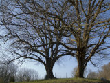 Two Trees Grow Side by Side in Rural Tennessee