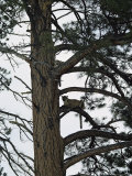 Two Mountain Lions Rest in the Ladderlike Branches of a Pine Tree