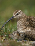 Whimbrel on Nest with Chick and Egg  Alaska