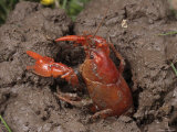 Upland Burrowing Crayfish in a Burrow