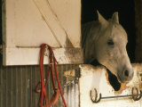 White Horse Sticks his Head Out of his Stall