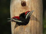 Young Pileatd Woodpeckers in the Nest Await Breakfast