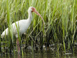 White Ibis Portrait  Tampa Bay  Florida