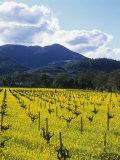 Charlock at Robert Mondavi Winery  Napa Valley  Usa