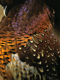 A Pheasant with Colourful Feathers
