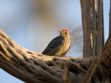 Woodpecker Inside the Desert Dome at the Omaha Zoo  Nebraska