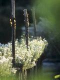 White Camomile in Garden