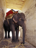 Working Asian Elephant Rests in the Shade of a Fort Feeding on Cane