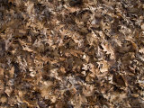 Winter's Carpet of Dried Autumn Leaves