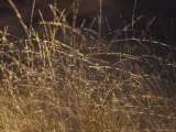 Wild Native Grasses Backlit at Dawn Appear Delicate and Fragile  Australia
