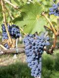 Nebbiolo Grapes  Tuscany  Italy