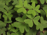 Wood Sorrel Shamrock
