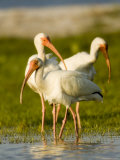 White Ibises Preening in Mangrove Shallows  Tampa Bay  Florida