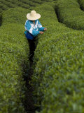 Woman Wearing Straw Hat Harvesting Tea Leaves in Shennongjia  China