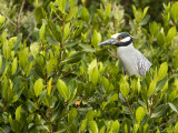 Yellow-Crowned Night Heron in a Mangrove Tree  Tampa Bay  Florida