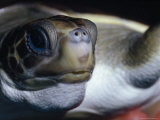 Vulnerable Flatback Sea Turtle Held in its Keepers Hands  Australia