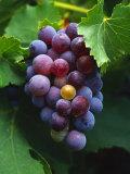 A Bunch of Grenache Grapes on the Vine  Australia