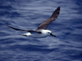 Yellow Nosed Albatross in Flight Gliding over the Ocean Surface  Australia