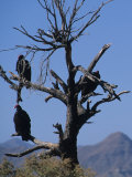 Vultures Sit in a Dead Tree  Baja  Mexico