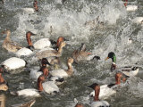 Water Fowl Feeding Frenzy of Canvasback  and Mallard Ducks
