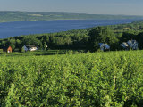 Vineyard Along the Finger Lakes