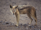 Wary Black-Backed Jackal on a Remote and Barren Coastal Plain