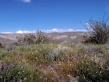 Wild Flowers in Desert Park  California
