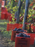 Grape Picking in Renato Ratti Vineyard  Piedmont  Italy