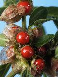 Ashwagandha Berries on Branch