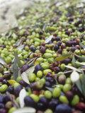 Olive Harvest (Tenuta San Vito  Tuscany  Italy)